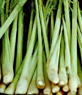 Lemon Grass, Cymbopogon citratus, Lemon Grass : Largest Wholesaler